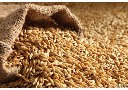Wheat - Jave Godhi (Long Wheat)